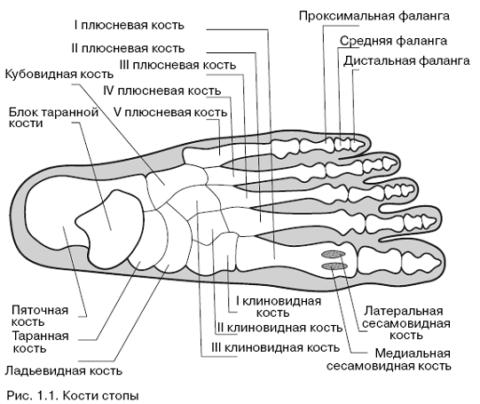Анатомия стопы.