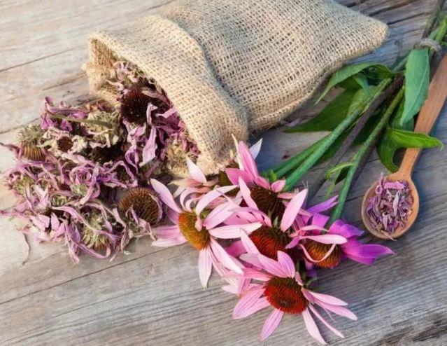 Чем лечить герпес в домашних условиях трава эхинацеи