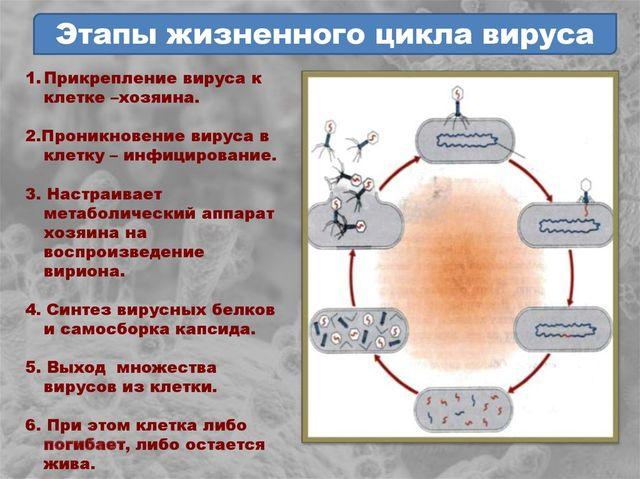Этапы вируса герпеса