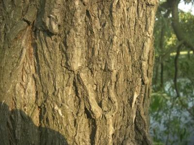 Ивовая кора (на фото) – одно из самых эффективных средств для лечения плеврита.