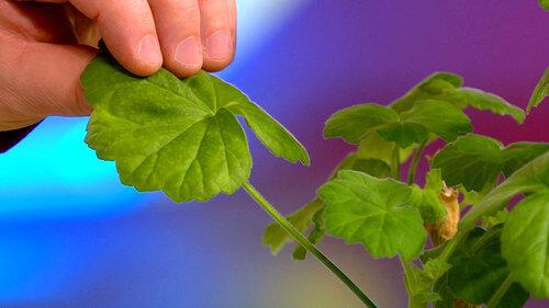 остеохондроз симптомы грудного отдела симптомы и лечение в домашних условиях герань листья