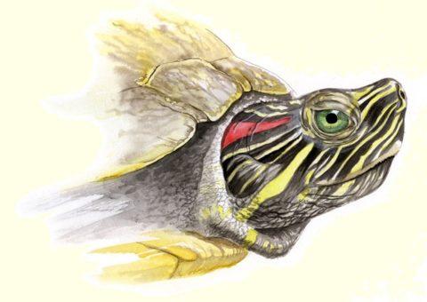 Красноухой черепаха называется из-за цветных полосок позади глаз, однако эти животные не наделены ушными раковинами.