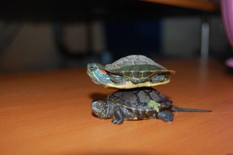 Маленькая красноухая черепаха любит полакомиться сырым мясом, потому что относится к разряду хищников.