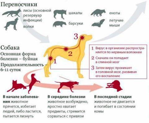 Основные переносчики инфекции – больные животные