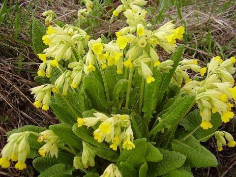 Отвар первоцвета поможет очистить легкие от вязкой мокроты и облегчить дыхание.
