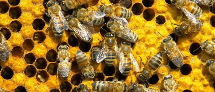 Подмор пчелиный и сахарный диабет
