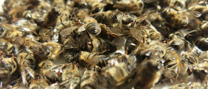 Пчелиный подмор для лечения суставов
