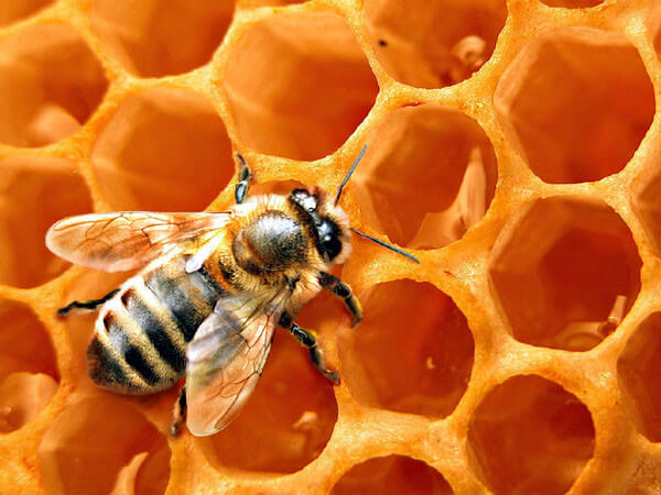 Пчёлы и мёд