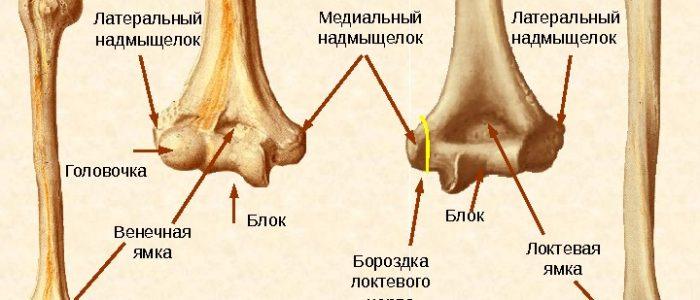 Функции и анатомия плечевой кости человека