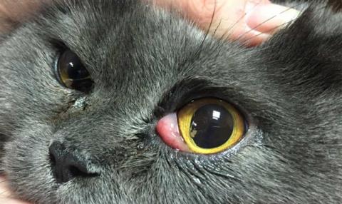 Признаки столбняка у кошек: нарушение жевания, неподвижность ушей, выпадение 3-го века