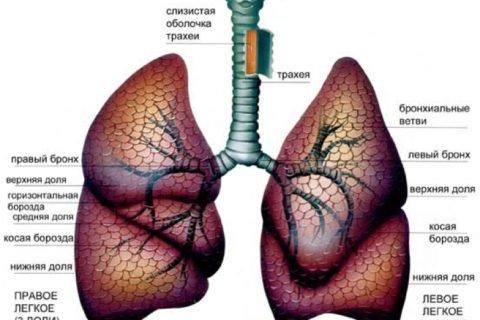 Схематическое изображение дыхательной системы