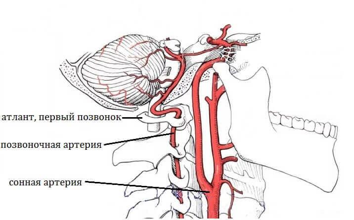 сонная и позвоночная артерия