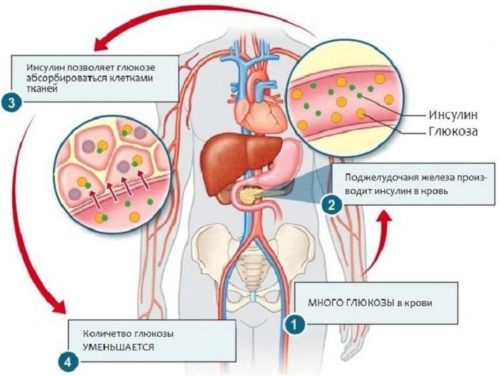 Чем в организме вырабатывается инсулин?